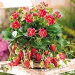 Red Alpine Strawberry