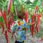 giant pepper (พริกยักษ์)