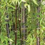 Black Bamboo (ไผ่ดำ)