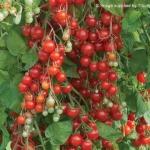 Sweet Million Tomato (มะเขือเทศหวานสวีทมิลเลี่ยน)