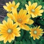 Rudbeckia-Prairie Sun