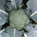 Express Broccoli (บล็อคโคลี่ย์เอ็กเพรส)