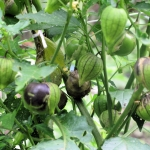 Purple Tomatillo (โทมาทิลโล่สีม่วง)