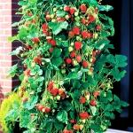 Red Climbing Strawberry (สตรอเบอรี่เลื้อย)