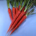 Red Samurai Carrots (แครอทซามูไรแดง)