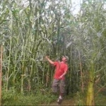 Giant Corn (ข้าวโพดยักษ์)