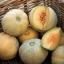 Minnesota Midget Melon (มินนิโซต้าร์ เมล่อน)