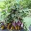 Fairytale Eggplant (แฟรีเทล)