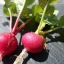 Crimson Radish (คิมสัน เรดิช)