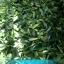 ใบทุเรียนเทศแห้ง Graviola Air Dried Soursop Leaves ขนาด 250 กรัม thumbnail 4