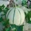 Artemis Melon