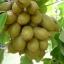 kiwi fruit (กีวี่)
