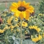 Sunflower-Soraya