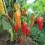 santa fe grande chili pepper