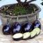 Patio Baby Eggplant (มะเขือไข่สีม่วง)