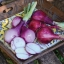 Camelot Shallot Seed