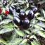 Black olive Pepper