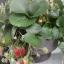 Little Balcony Strawberry (สตอเบอรี่กระถางบอนไซ)