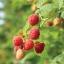 Prelude Raspberry (พรีลูท ราสเบอรี่)