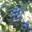 Elliott Blueberry (เอลเลียตบลูเบอรี่)