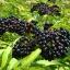 Elder Berry