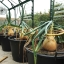 Giant Onion (หัวหอมยักษ์)