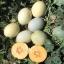 Papayadew Melon (พะพาย่า ดิว เมล่อน)