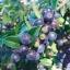 Evergreen Huckleberry (ฮัคเบอรี่)