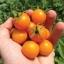 sun sugar tomato (มะเขือเทศหวาน)