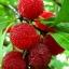 Bay Berries
