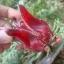 กระเจี๊ยบแดงดอกใหญ่