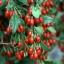 Goji Berry Fruit