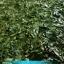 ใบทุเรียนเทศแห้ง Graviola Air Dried Soursop Leaves ขนาด 250 กรัม thumbnail 5