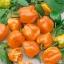 habanero pepper orange
