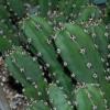 ERIOCEREUS Harrisia jusbertii (ตอหนามดำ) 20 seeds